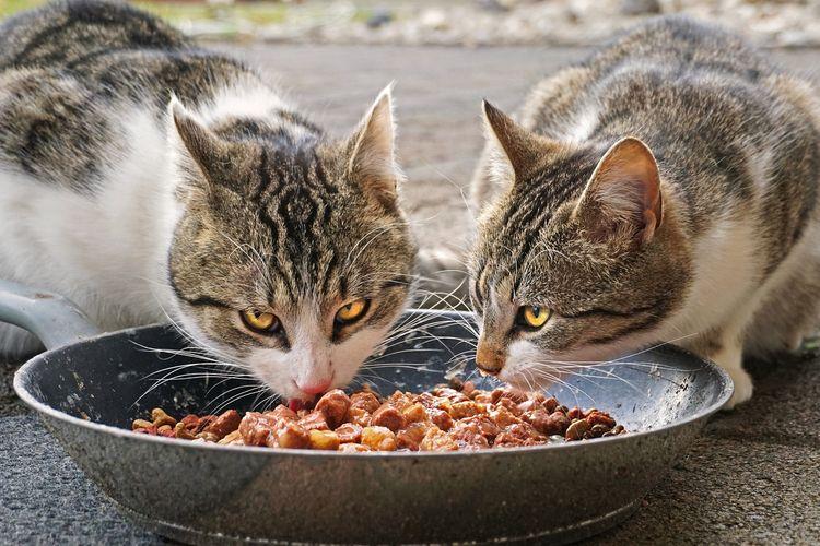 Apa Makanan Kucing yang Sehat dan Anti Ribet?